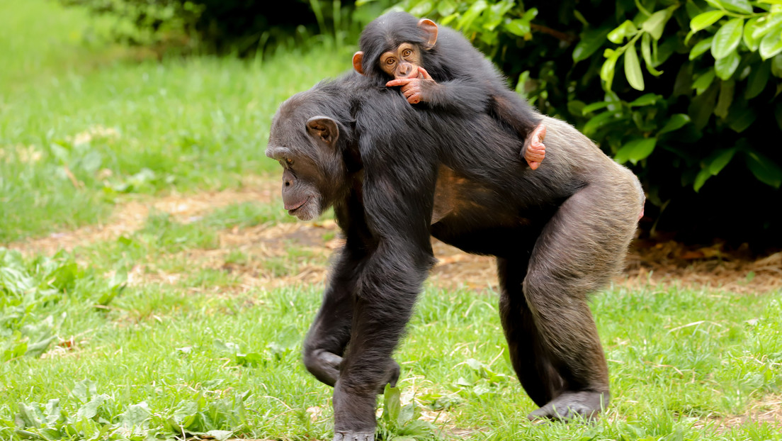 Científicos documentan por primera vez cómo los chimpancés matan en grupos a gorilas