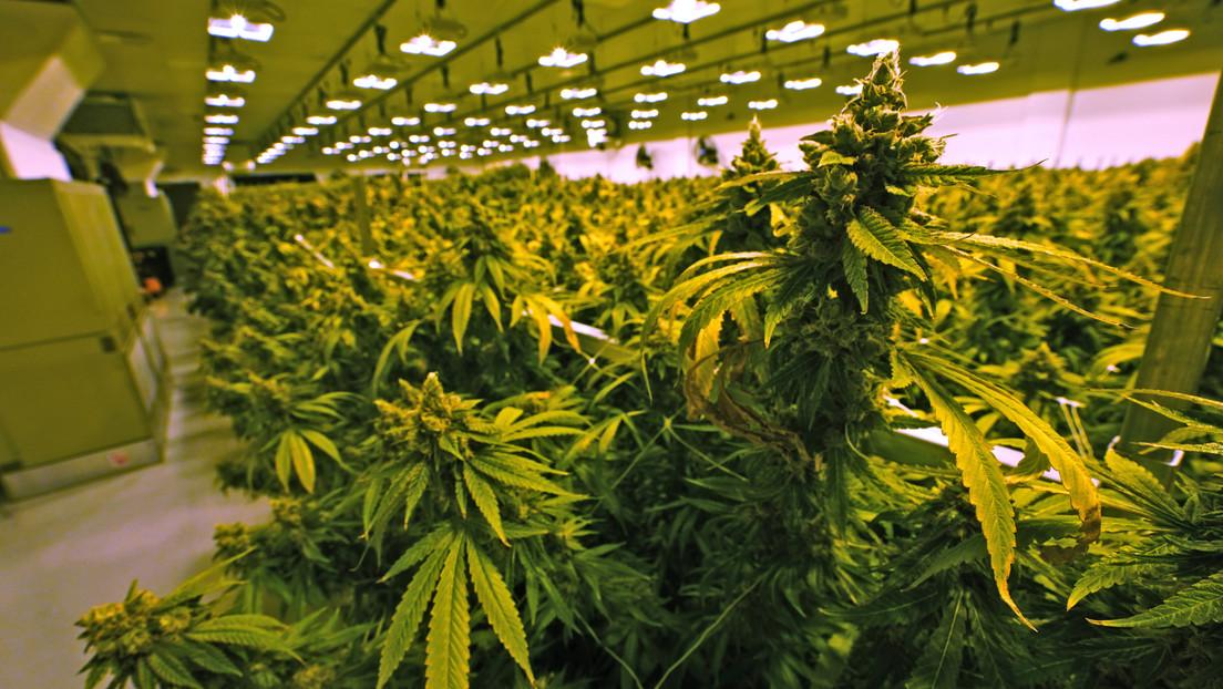 Científicos advierten que los casos de esquizofrenia relacionados con el uso de cannabis están en aumento
