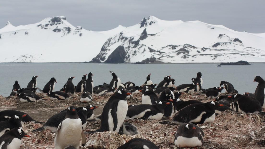 Hallan microplásticos en la dieta de los pingüinos de la Antártida