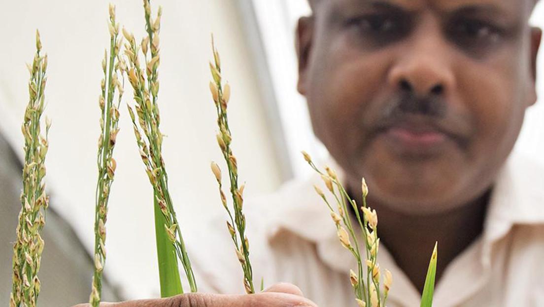 """Filipinas aprueba la producción comercial de un """"arroz dorado"""" modificado genéticamente"""