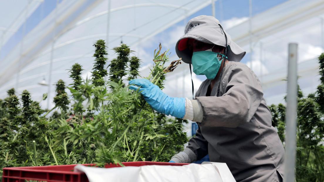 """Colombia autoriza la exportación de la flor seca de cannabis medicinal para """"jugar en grande"""" en el mercado internacional"""