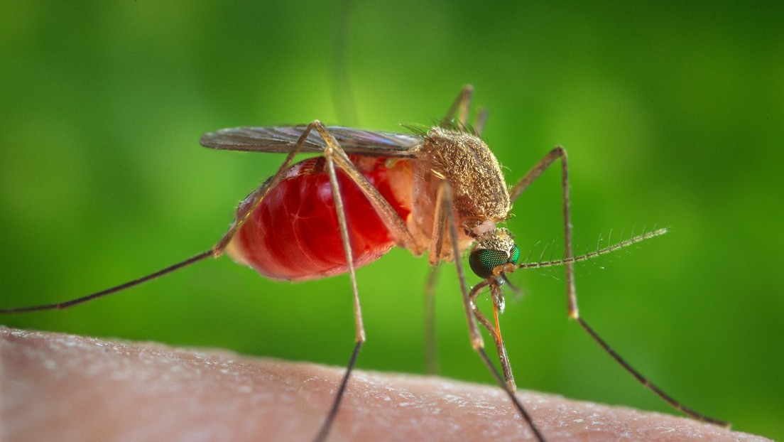 Detectan mosquitos portadores del virus del Nilo Occidental en Los Ángeles