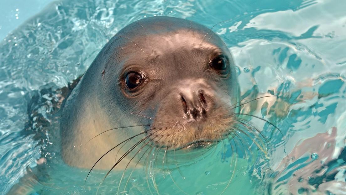 Matan a quemarropa a una foca que se hizo símbolo de una isla griega tras ser rescatada cuando un ciclón azotaba el país