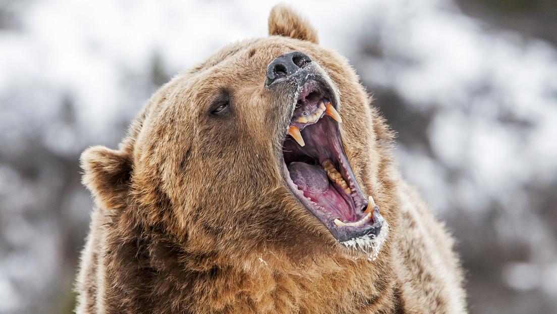 Un oso se lanza contra un grupo de turistas en un parque natural en Siberia y mata a uno