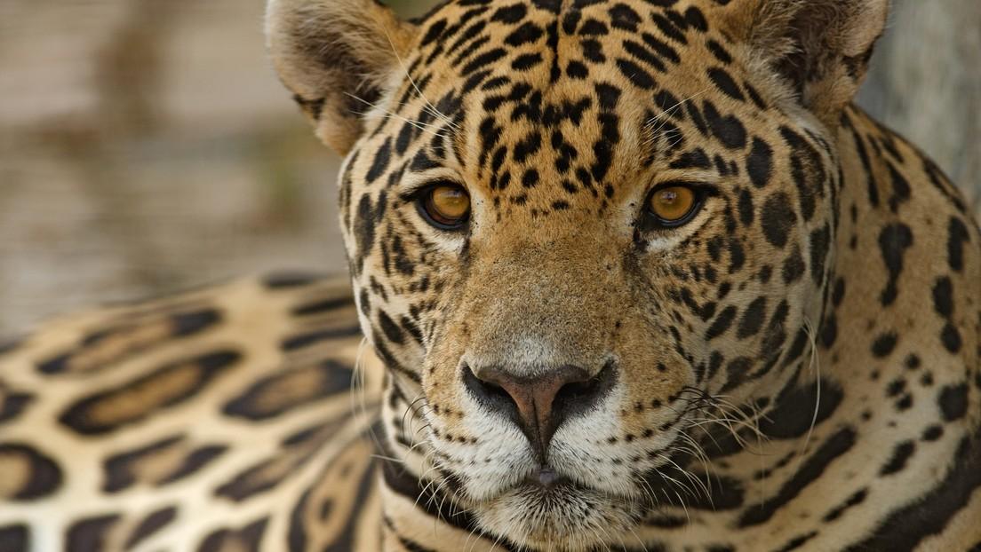 Un joven mete la mano en la jaula de los jaguares en un zoológico y los felinos responden con un zarpazo