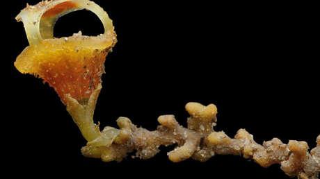 Descubren una inusual nueva especie de planta que no produce clorofila y emerge de la tierra solo durante la floración