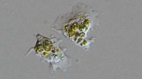 """Observan por primera vez cómo las células de coral """"engullen"""" a las algas unicelulares que las mantienen con vida"""