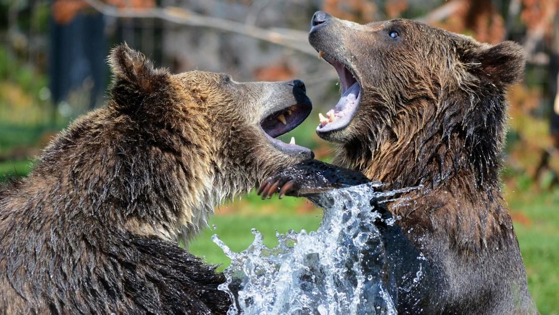 VIDEO: Filman desde tres ángulos una intensa pelea por el territorio entre dos osos pardos de gran tamaño en Finlandia