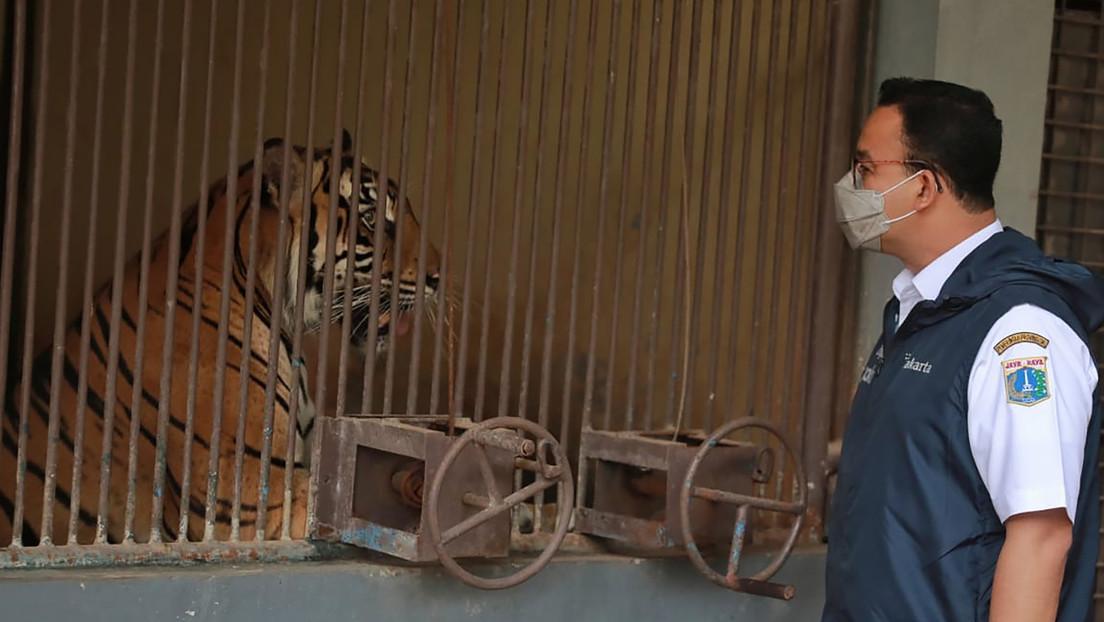 Dos tigres de Sumatra se recuperan en Indonesia tras contagiarse de covid-19