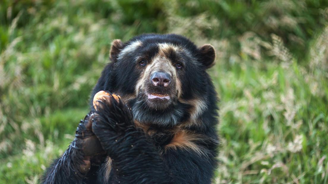 El único oso autóctono suramericano (y en riesgo de extinción) ya tiene territorio protegido en Venezuela