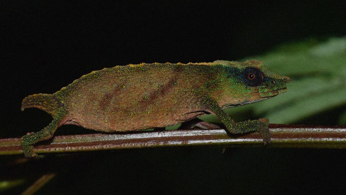 Reencuentran en África un raro camaleón pigmeo dado por extinto hace años