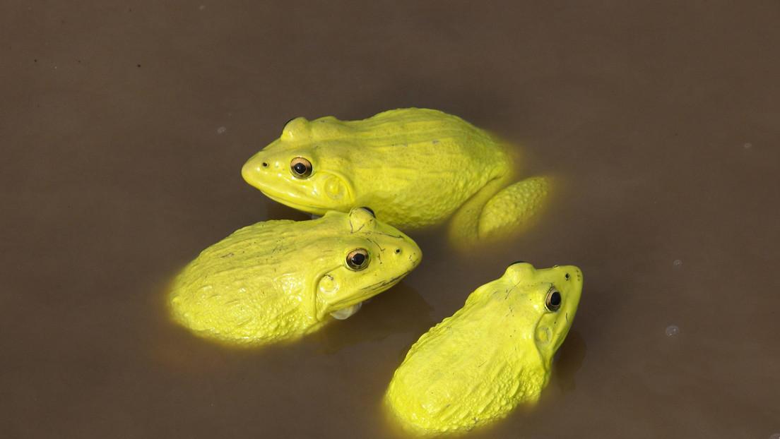 VIDEO: Un 'ejército' de ranas amarillas invade los charcos de la India