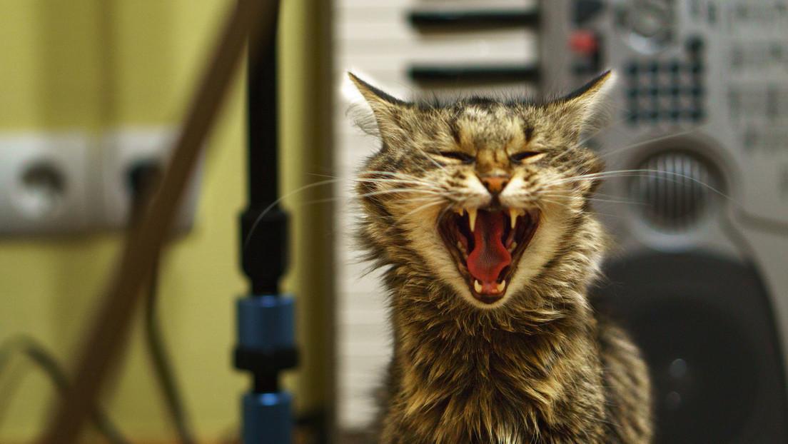 Un gato pasa 52 días encerrado en una casa sin comida y sobrevive de milagro  - RT