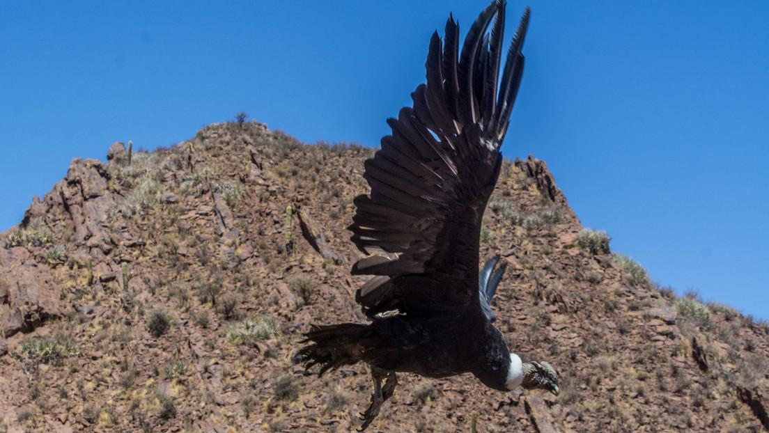 VIDEO: Ecuador registra el nacimiento de un nuevo polluelo del amenazado cóndor andino