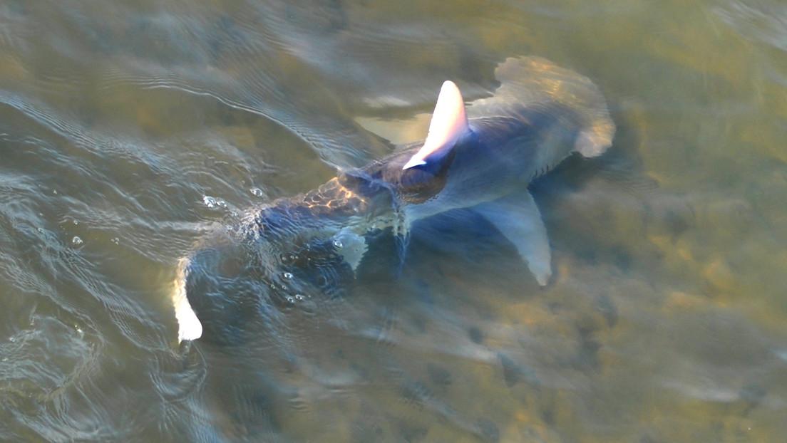 Cientos de tiburones inundan los canales de Florida en busca de refugio ante la tóxica marea roja