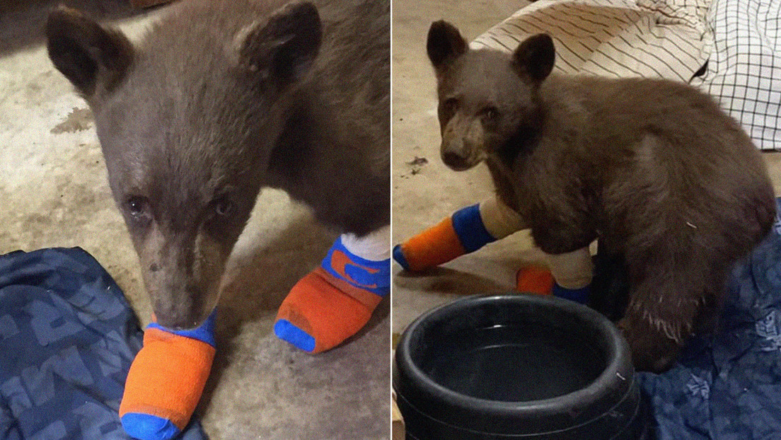 Un pequeño oso rescatado de un incendio forestal en California huye del refugio tras cavar un túnel debajo de una valla