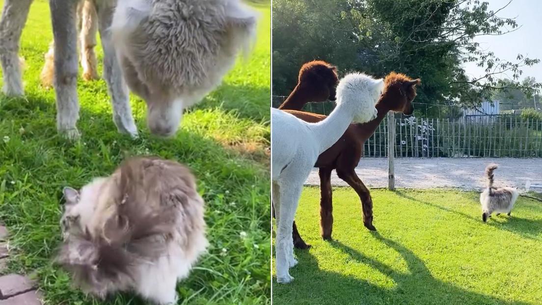 VIDEO: Una gata sorprende a cuatro alpacas curiosas que tratan de entender (sin éxito) la naturaleza de la visita