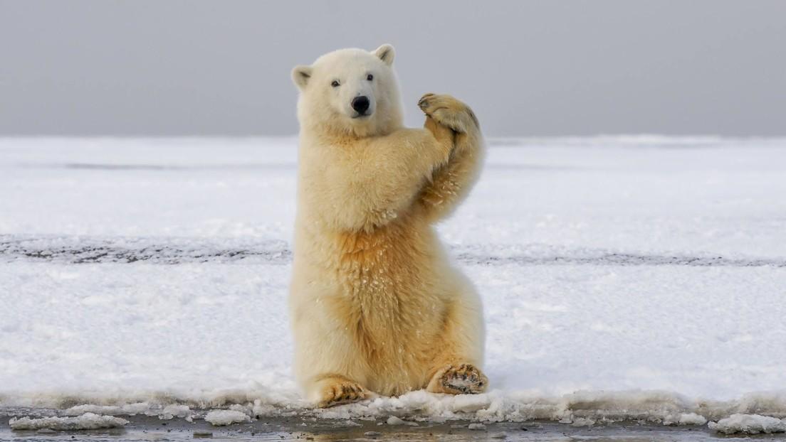No era una leyenda: los osos polares pueden cazar morsas lanzándoles piedras y bloques de hielo a la cabeza