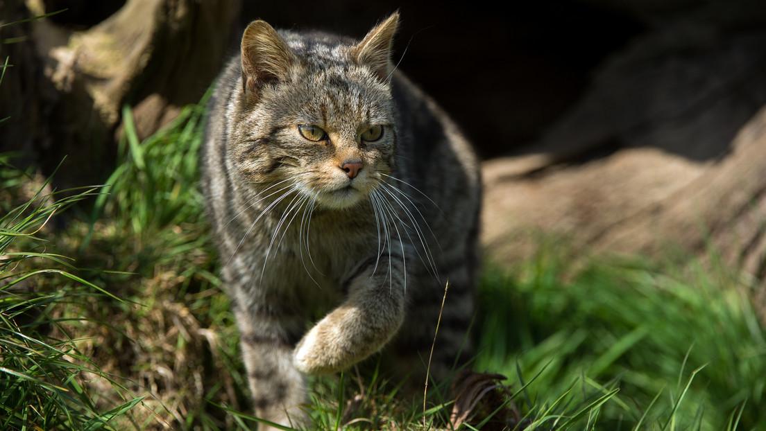 Gatos monteses vuelven a poblar los bosques de Países Bajos