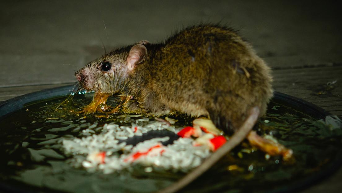 Se enferma y confunde sus síntomas con el covid-19 (pero era una rara infección que contrajo al tocar a una rata muerta)