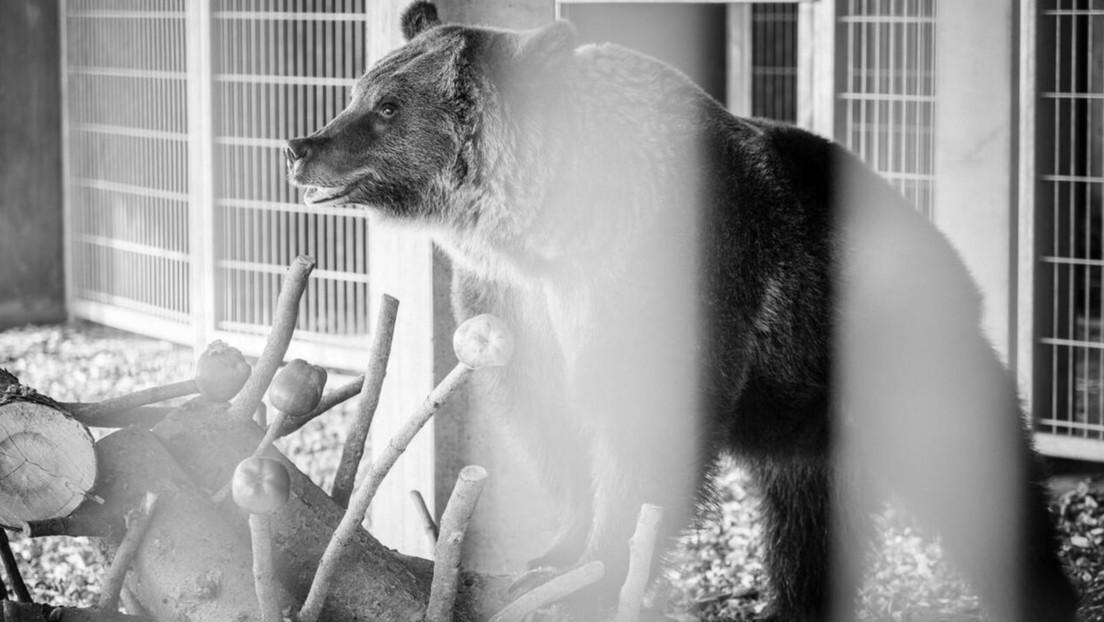 Muere Jambolina, una osa que solo disfrutó de pocos meses de libertad después de pasar 11 años en una jaula
