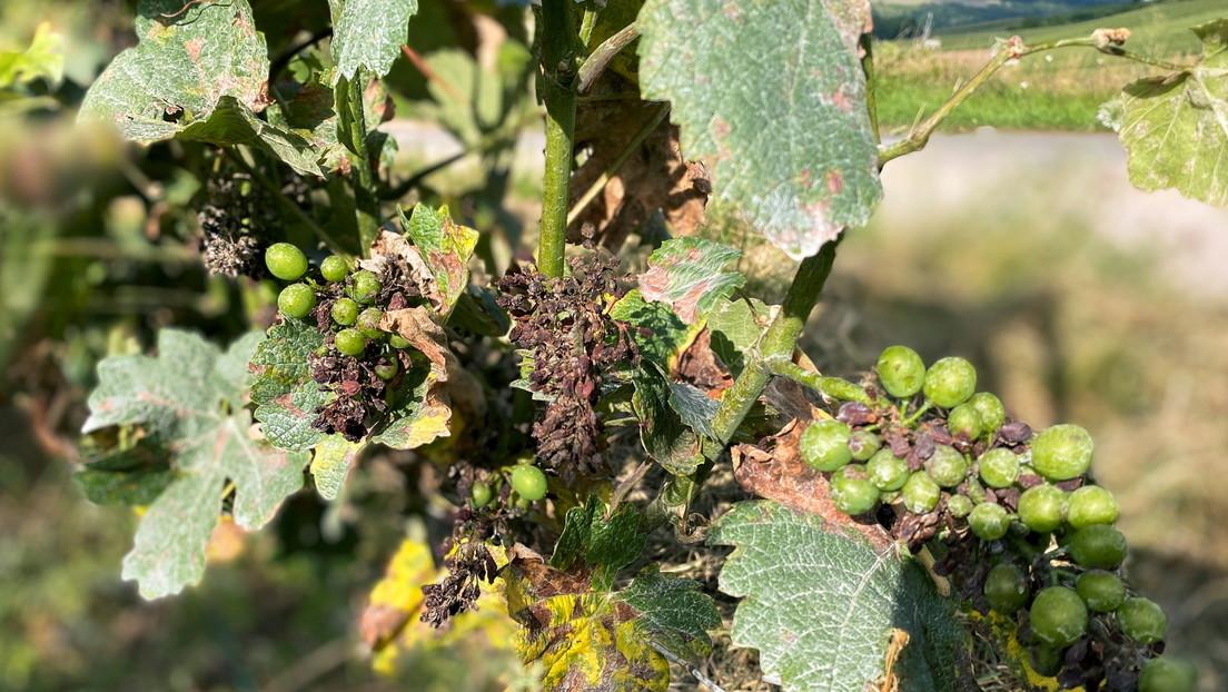 """La producción del vino francés cae a un nivel """"históricamente bajo"""" tras devastadoras heladas primaverales"""