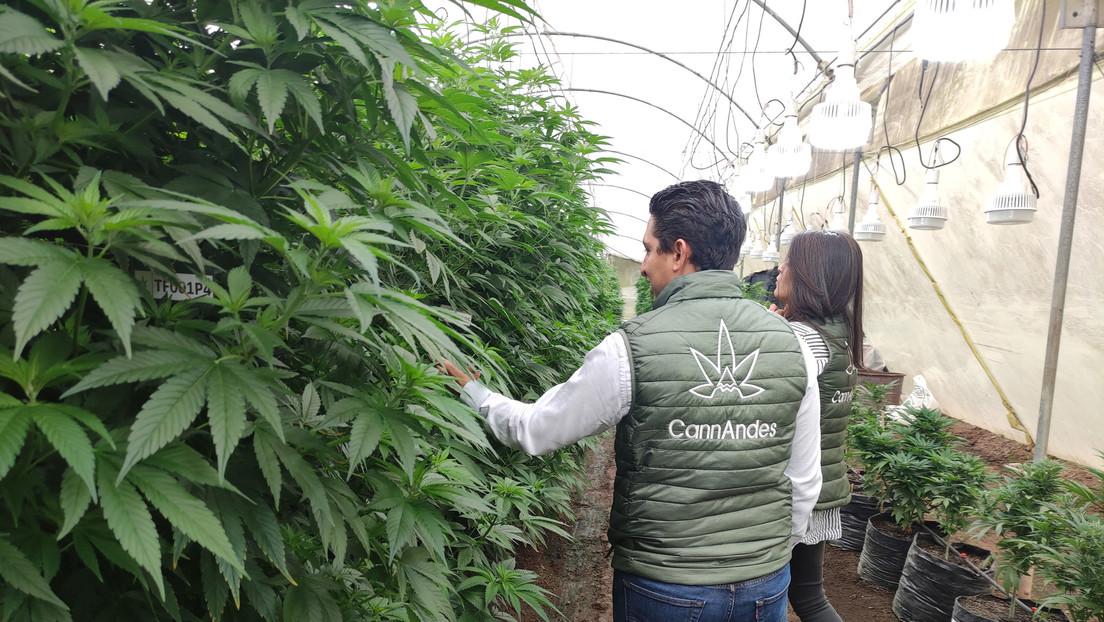 La primera finca cannábica legal de Ecuador se alza entre cultivos de rosas (y aspira a que el país domine la industria en poco tiempo)
