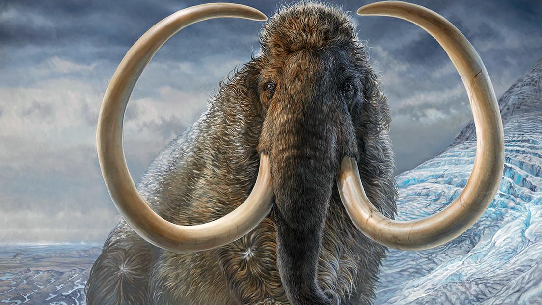 """El colmillo de un mamut permite concluir que el animal """"dio casi dos vueltas al mundo"""" a lo largo de su vida"""
