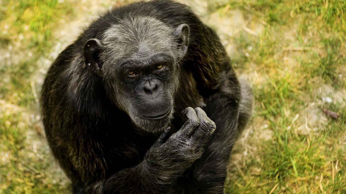 El chimpancé más viejo de Europa muere a los 49 años