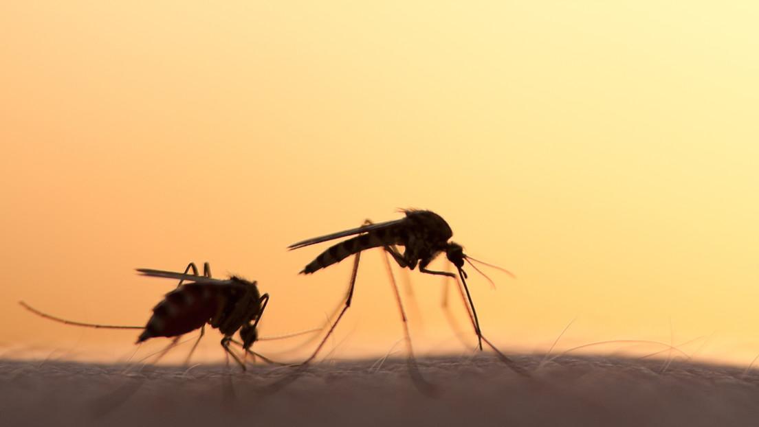 Detectan en Ucrania mosquitos que transmiten parásitos y provocan una enfermedad poco común