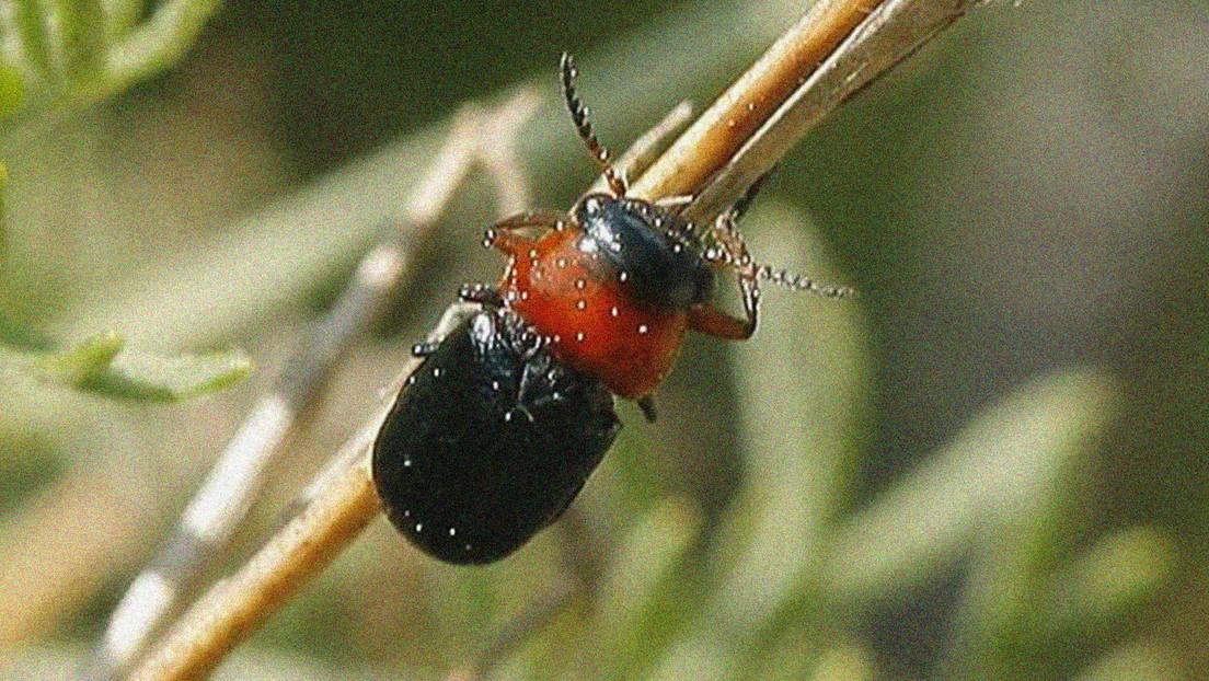 Encuentran en Madrid un raro escarabajo del que no se tenían registros (FOTO)