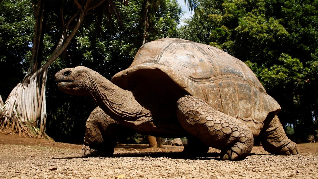 """Captan a una tortuga gigante devorando un polluelo de charrán común en """"la primera documentación de caza deliberada en cualquier especie de tortuga"""""""