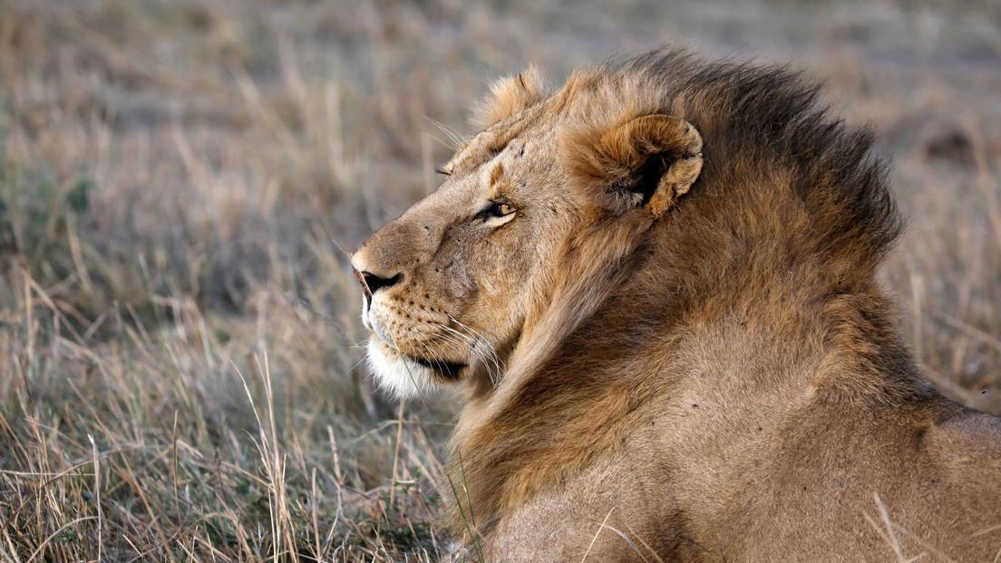 FOTO: Captan el inusual momento en que un león abraza un árbol en Kenia