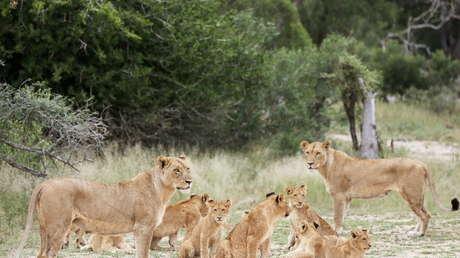 """VIDEO: Un """"zoológico inverso"""" encierra a los visitantes en una jaula y los leones caminan alrededor"""