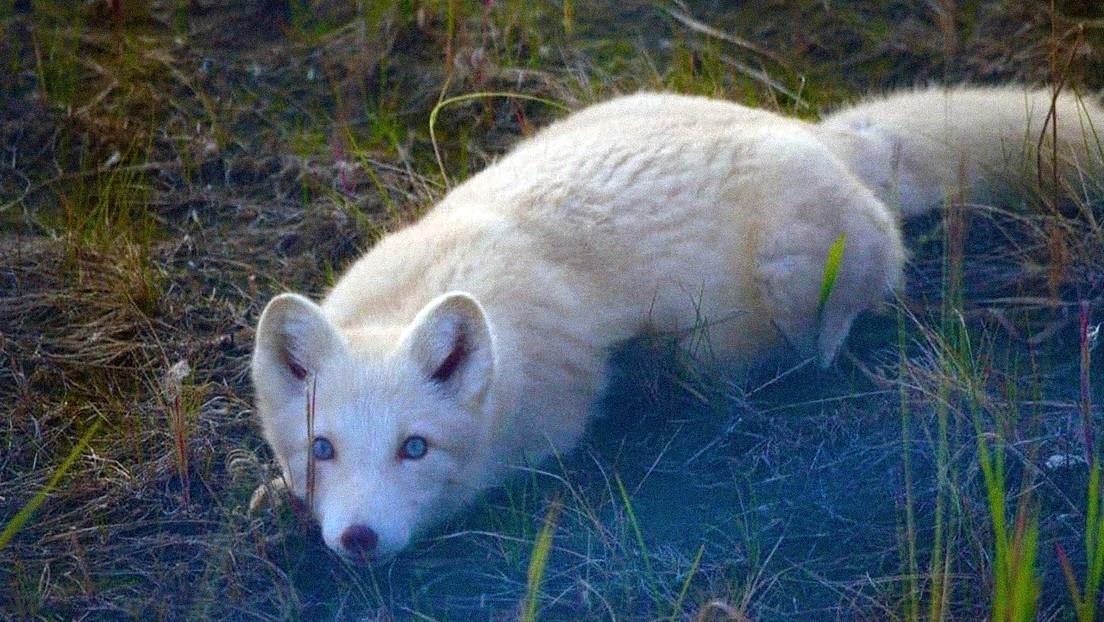 FOTOS: Captan un raro zorro polar de ojos celestes, nariz rosada y pelo rubio claro en el ártico ruso
