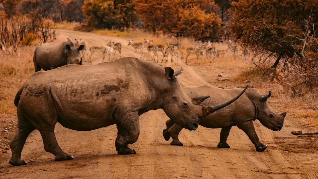 Transportación de rinocerontes boca abajo y obesidad de políticos como indicador de corrupción: anuncian los ganadores del 'Ig Nobel' de este año