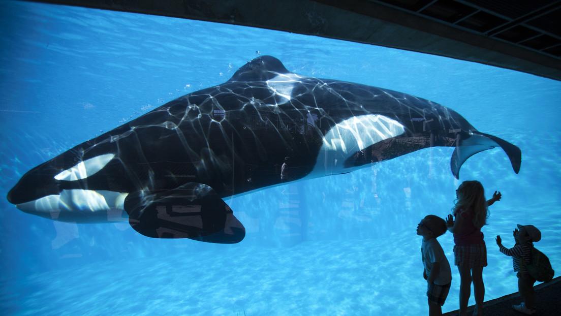 """VIDEO: La orca """"más solitaria del mundo"""" es captada golpeándose con desespero contra el vidrio de su estanque"""