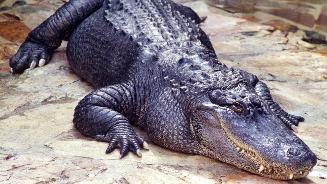 Encuentran objetos de valor incalculable en el estómago de un enorme cocodrilo (FOTOS)
