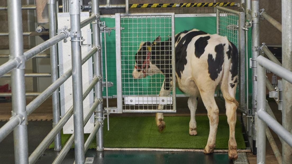 ¿Vacas que orinan como gatas?: en Alemania enseñan al ganado a 'usar el baño' para detener el cambio climático