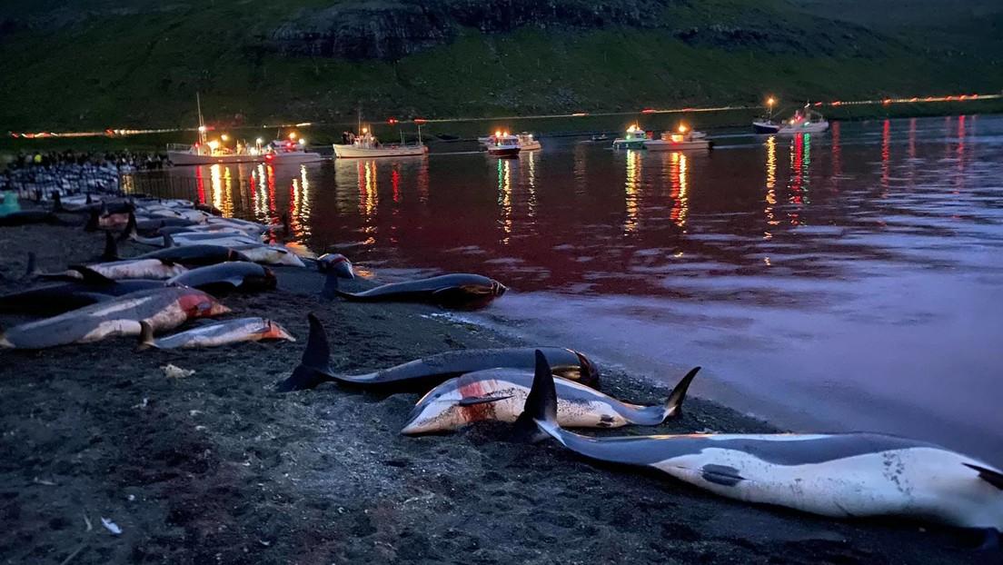 VIDEO: Matan más de 1.400 delfines en una sangrienta cacería anual en las islas Feroe