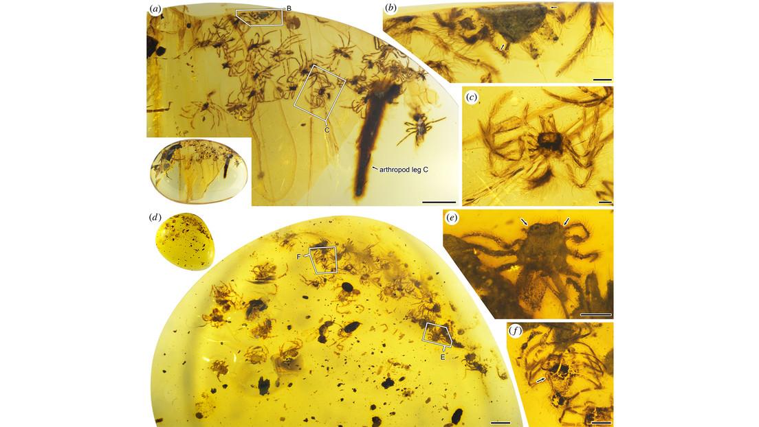 Hallan en ámbar una familia de antiguas arañas con huevos en sus espaldas sin eclosionar junto con otras crías