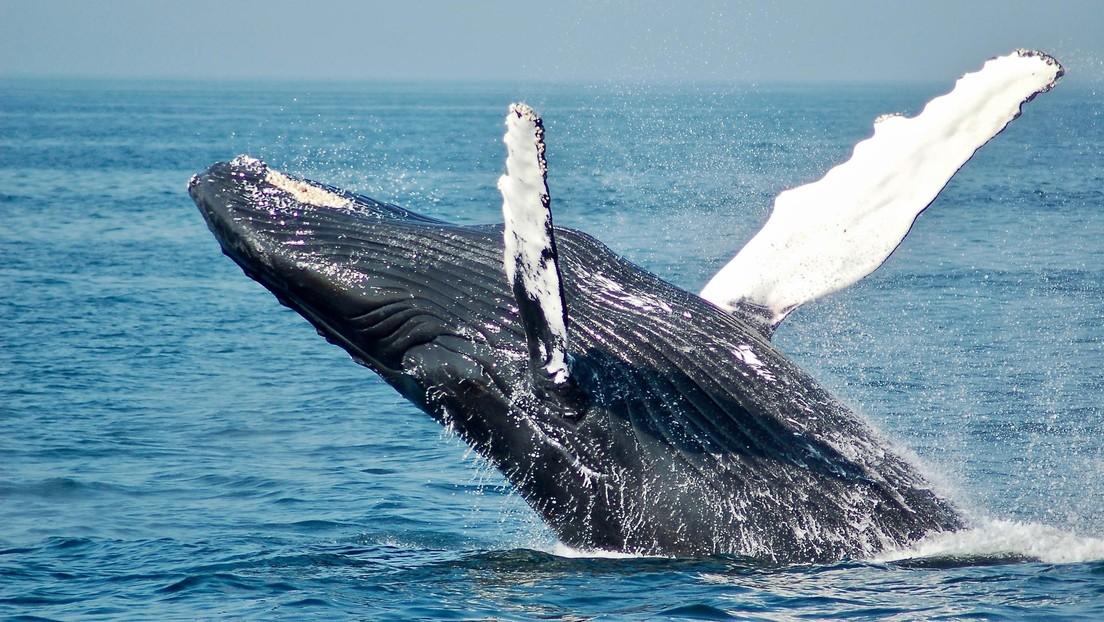 Científicos muestran las 'manos' de cinco dedos las ballenas tienen ocultas en las aletas (FOTOS)