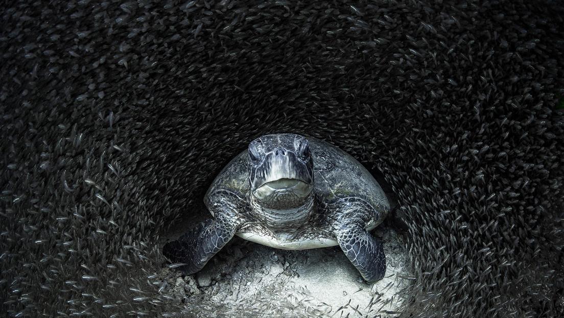 'La tortuga se llevó el gato al agua': estas son las impactantes imágenes ganadoras del premio Ocean Photography 2021