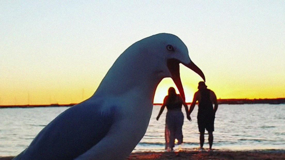 Una gaviota 'gigante' casi 'se come' a una pareja que daba un paseo por una playa australiana (y el momento queda grabado)