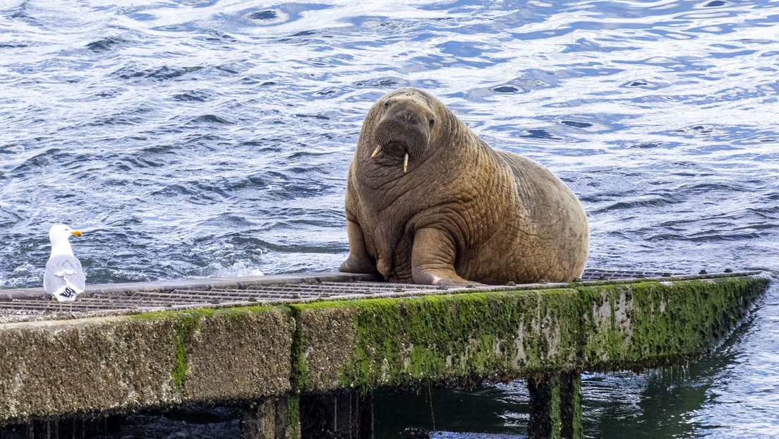 Wally, una morsa errante que ha viajado seis meses por Europa, reaparece en Islandia y se acerca cada vez más a su hogar en el Ártico