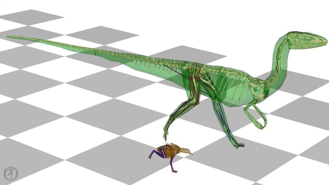 Una simulación computarizada en 3D demuestra que los dinosaurios de la familia de los T-rex movían su cola de lado a lado mientras corrían