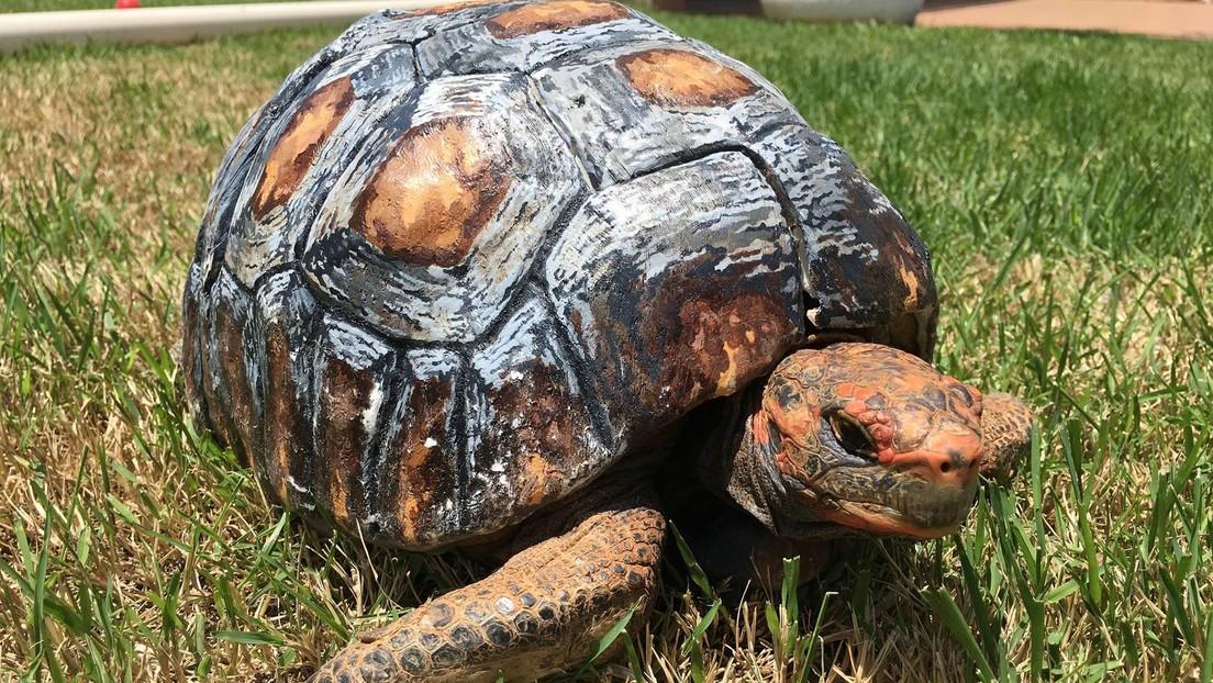 Voluntarios brasileños entran al Libro Guinness de los Récords por reconstruir e implantar con éxito el primer caparazón de tortuga impreso en 3D
