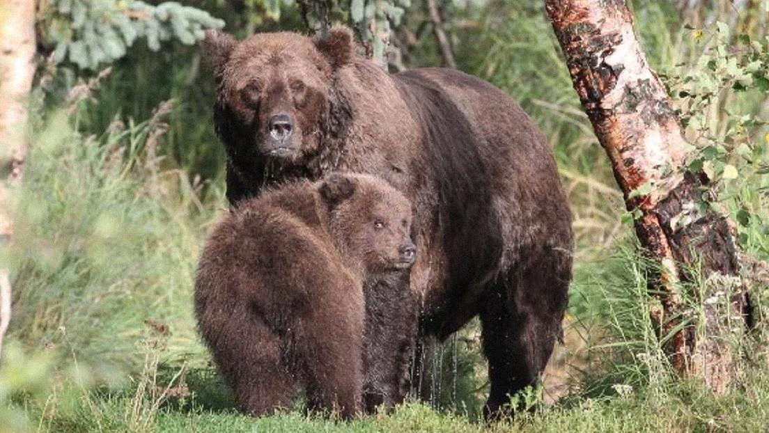 Un parque nacional en Alaska elige a su osezno más gordo en un peculiar concurso (FOTO)