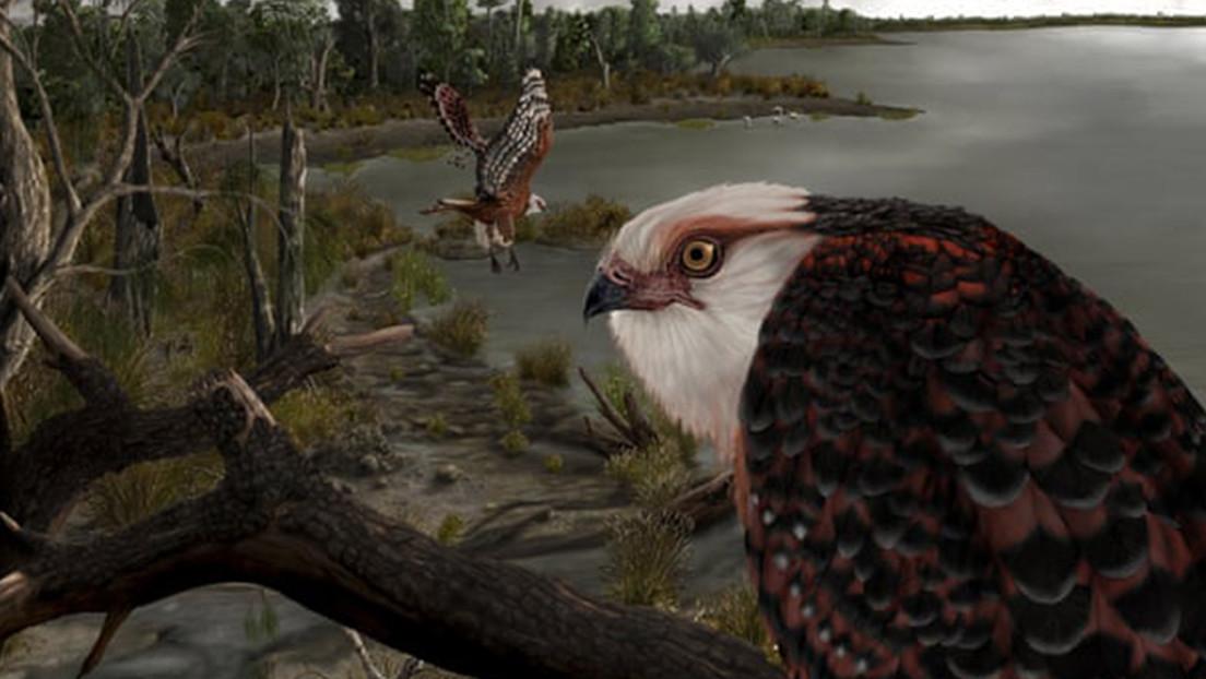 Encuentran un fósil de águila de unos 25 millones de años considerada una de las aves rapaces más antiguas del mundo