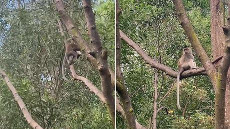 Un mono salvaje secuestra a un cachorro de dos semanas y lo retiene durante tres días (VIDEOS)